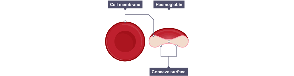 Red blood cell diagram labeled bbc bitesize trusted wiring diagram a labeled diagram of a red blood cell gallery diagram and writign rh nfrrun org red blood cell chart nerve cell diagram labeled ccuart Choice Image